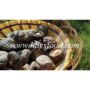 Whole Dried Smooth Mushroom/Good Taste 3-5cm