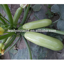 MSQ011 Leshi peak green early maturity hybrid squash seeds f1