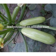MSQ011 Леши пик зеленый скороспелость гибридного сквош семена F1