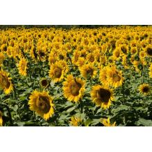 Healthy Bee Miel de tournesol naturel
