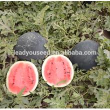 MW10 Yuan alto rendimiento carne roja brillante híbrido semillas de sandía ronda precio