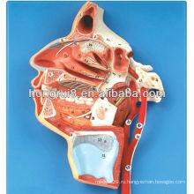 ISO 3-D модель человеческого лица, нервов