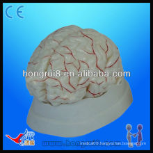 High quality medical anatomical model of human brain and brain artery anatomical brain model