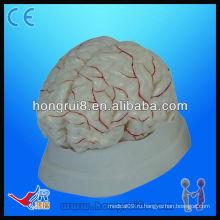 Высококачественная медицинская анатомическая модель анатомической модели мозга головного мозга и мозговой артерии