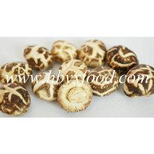 Au-dessous de 2 cm de champignons Shiitake fleur blanche séchée