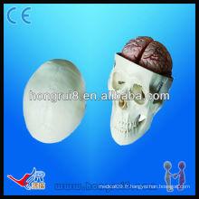 Modèle d'éducation de crâne de haute qualité, modèle de crâne Pvc, modèle de crâne avec 8 parties de cerveau