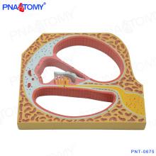 PNT-0675 organum spirale espiral órgão do modelo da cóclea