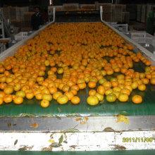 Горячий продавать в рынке Бангладеша свежий младенец Mandarin Орандж