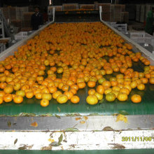 Venda quente no mercado de Bangladesh Fresh Baby Mandarin Orange