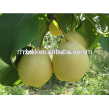 New season crop agriculture golden Pear from China