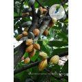 Порошок Пищевых Ароматизаторов Органический Материал Дерево Какао Семена Порошок