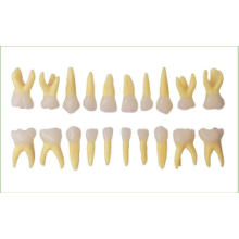 Primary Teeth Model with 20PCS Teeth