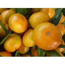 Frische chinesische mandarine