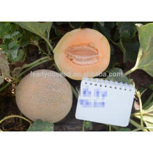 NSM131 Qinai white stripe round sweet melon seeds, galia type