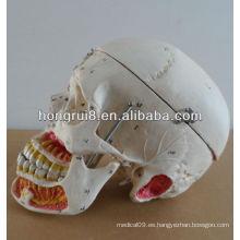 Modelo humano para la educación de plástico cráneo