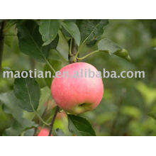 China Fresh Gala Apples