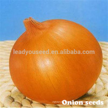 ON01 Dayu early maturity f1 hybrid yellow onion seeds prices