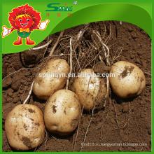 Крупный свежий желтый картофель Экспорт китайский сладкий картофель