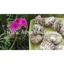 Secado de flor blanca Shiitake hongos sabrosos alimentos