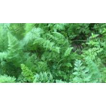 Suntoday légumes agro highyield hybride F1 Bio sauvage indien rouge New kuroda culture de graines de carotte agricole (51001)