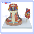 PNT-0480 Modèle du médiastin Modèle d'anatomie humaine du médiastin