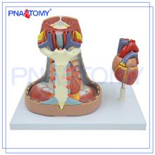 PNT-0480 Mediastinum Modell Menschliches Anatomiemodell des Mediastinums