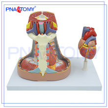 PNT-0480 Mediastinum Model Human anatomy model of mediastinum