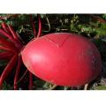 HR04 Ronghe vermelho OP sementes de rabanete em sementes de hortaliças