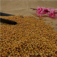 millet jaune de maïs de balai de haute qualité à vendre
