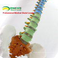 Medical Models Plastic Human Spine Model for Osteology Chiropractic Study