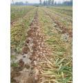 New Crop Fresh Garlic Of 2019 In 5.0cm