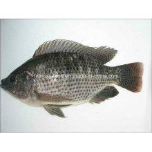 New Catching Frozen Tilapia