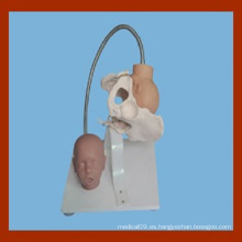Pelvis femenina con modelo de cabeza fetal, modelo de demostración de parto