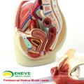 VERKAUF 12440 Life Size Becken Abschnitt Anatomisches Modell 3teilig Anatomie