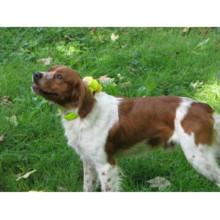 O cão impermeável do esporte soa o treinamento e a caça do colar do beeper com correia segura