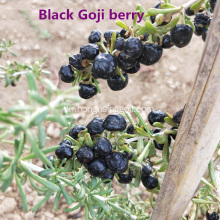 3 학년 Black Goji Berry