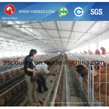 Chicken House H Type Cage Poultry Equipment for Layer or Broiler