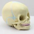SKULL04 (12330) медицинские науки 30 недель модель черепа плода , анатомические младенческой череп модель
