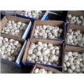 Ail blanc normal frais 5,5 cm en 10 kg / carton pour le marché brésilien