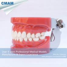 DENTAL 13001 Standard Dental Teeth Models with 28pcs Removable Teeth Fixed by Wax