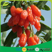 2016 new crop IQF frozen goji berry