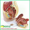 ANATOMY34 (12472) La médecine clinique humaine Section de bassin femelle pleine grandeur w / 8 semaines modèle anatomique infantile, 3part Movable