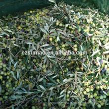 Qualidade de melhor venda de azeitona colheita de frutas