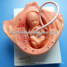 ISO Forth Month of gestation, Embryology Development models