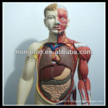 ISO 170-cm Deluxe Human Body Muscles Model with Internal Organs