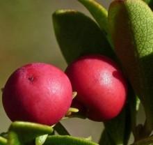Alpha Arbutin Powder 99% Bearberry Leaf Extract