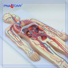 PNT-0438 Blutkreislauf Modell medizinische Schule Lehrmodell
