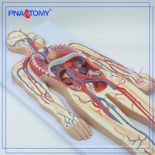PNT-0438 modelo de ensino da escola médica modelo de circulação sanguínea