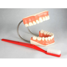 """Demonstration Model """"Tooth Hygiene""""of Plastic WithToothbrush"""