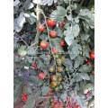 T33 Hongling no.88 f1 hybride TYLCV résistant indéterminé graines de tomates cerises rouges